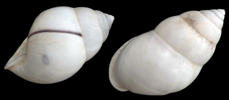 Amphidromus atricallosus leucoxanthus (von Martens, 1854) Amphid11