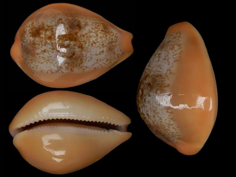 Austrasiatica langfordi poppeorum - Lorenz & Chiapponi, 2017  Austra15