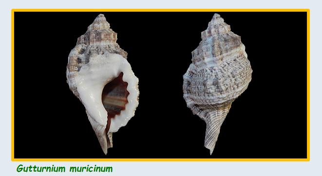 Cymatiidae Gutturnium - Le genre, son espèce, la planche Cymati28