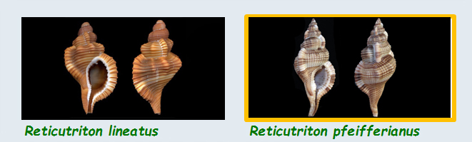 Cymatiidae Reticutriton - Le genre, ses espèces, la planche Cymati30