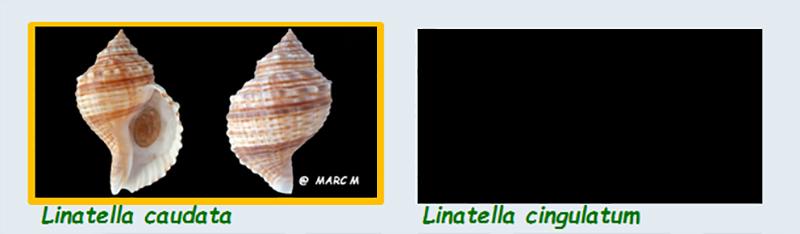 Cymatiidae Linatella - Le genre, ses espèces, la planche Cymati35