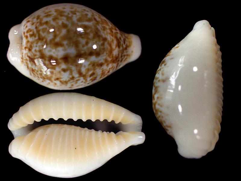 Eclogavena dayritiana mondejarorum - Petuch & R. F. Myers, 2014 Ecloga10