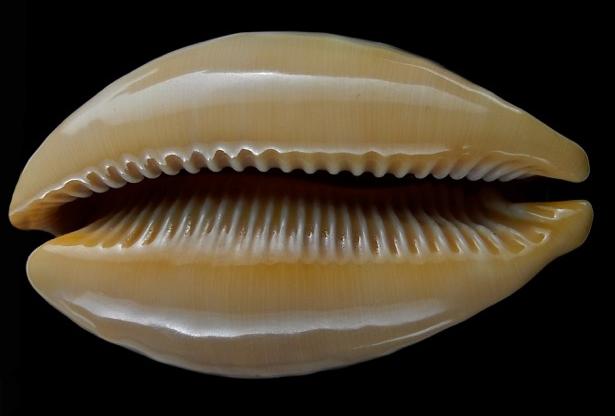 Callistocypraea broderipii somalica - Raybaudi Massilia, L., 1981 Lyncin12