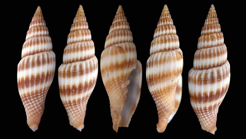 Vexillum curviliratum - (G. B. Sowerby II, 1874) Mitra10