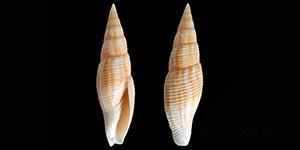 Les Mitridae - Swainson, 1829 Mitrid16