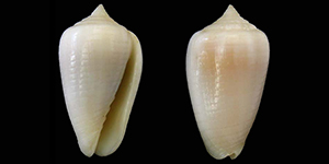 Les Mitridae - Swainson, 1829 Mitrid27