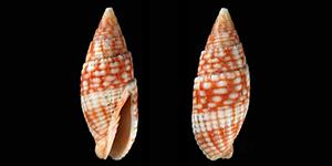 Les Mitridae - Swainson, 1829 Mitrid73