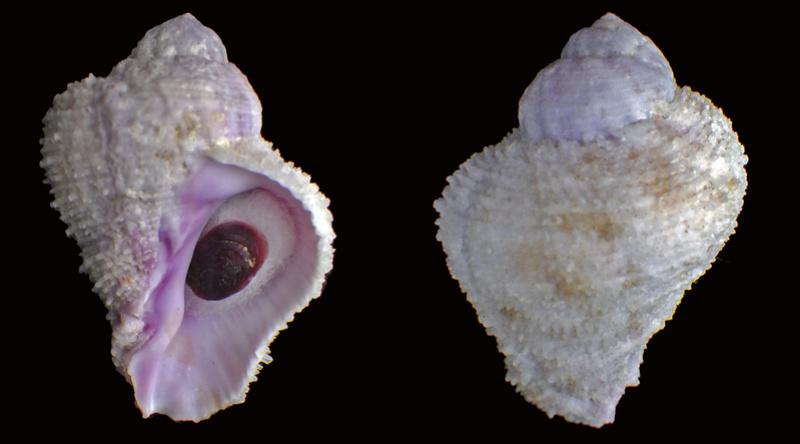 Coralliophila radula - (A. Adams, 1855) Muric105