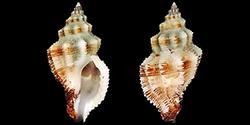 Ergalataxinae - Kuroda, Habe & Oyama, 1971 Muric140