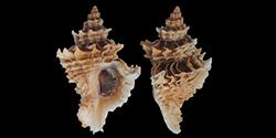 Ergalataxinae - Kuroda, Habe & Oyama, 1971 Murici56