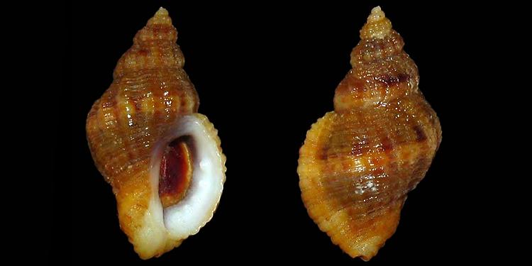 Ocenebra edwardsii - (Payraudeau, 1826) Murici77