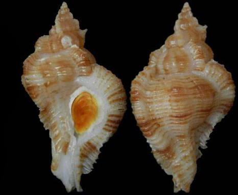 Siratus evelynae - Houart, 2012 Murici80