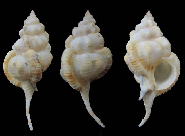 Siratus evelynae - Houart, 2012 Murici81