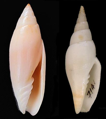 Espéces non décrites de Nlle Calédonie - d'après Mitridae Patric11