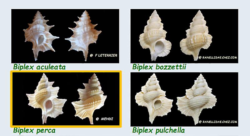 Cymatiidae Gyrineum (ex Biplex) - Le genre, ses espèces, la planche Ranell24