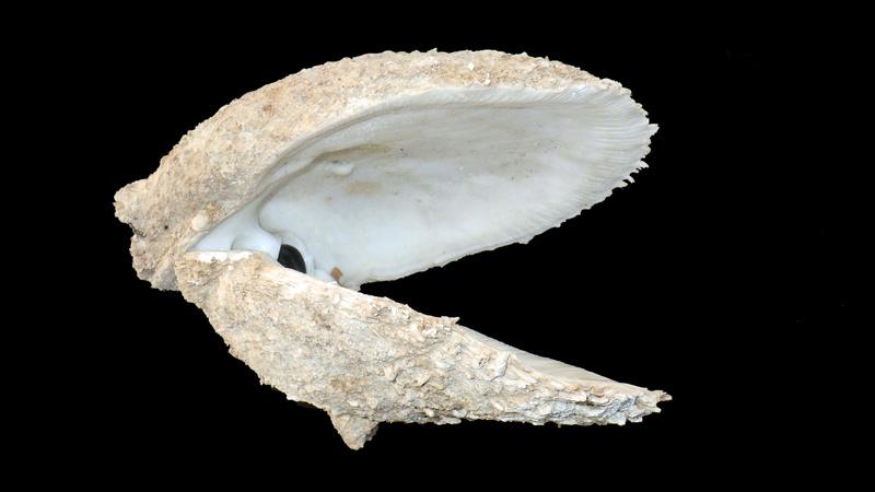 Spondylus varius - G. B. Sowerby I, 1827  Rimg4910