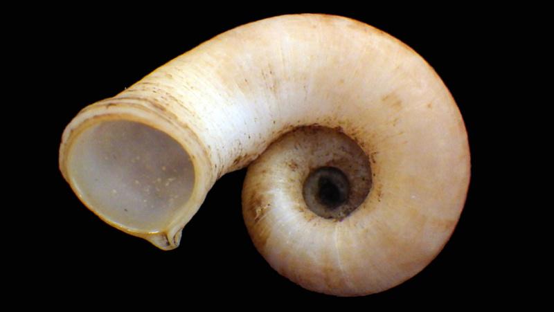 Rhiostoma chupingense  (Tomlin, 1938) Rimg5516