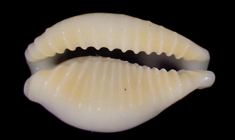 Eclogavena dayritiana mondejarorum - Petuch & R. F. Myers, 2014 Rimg5813