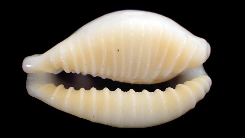 Eclogavena dayritiana mondejarorum - Petuch & R. F. Myers, 2014 Rimg5814