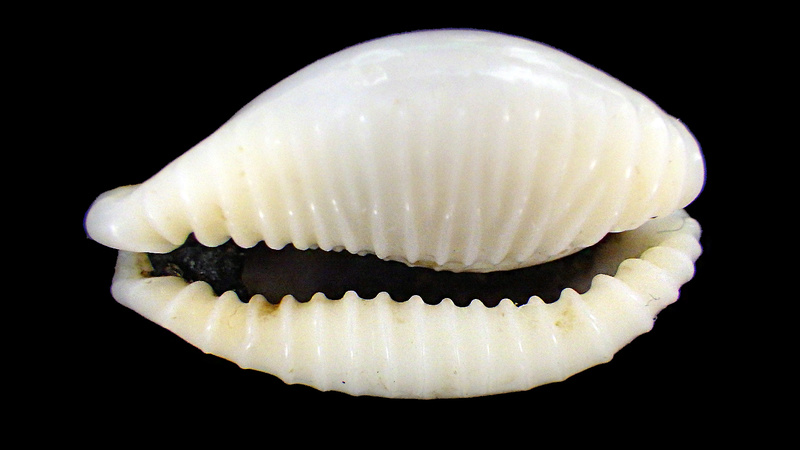 Eclogavena dayritiana mondejarorum - Petuch & R. F. Myers, 2014 Rimg5815