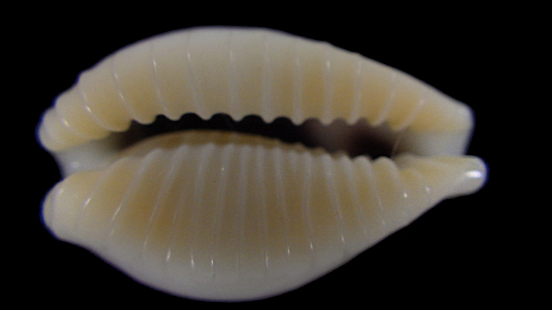 Eclogavena dayritiana mondejarorum - Petuch & R. F. Myers, 2014 Rimg5818