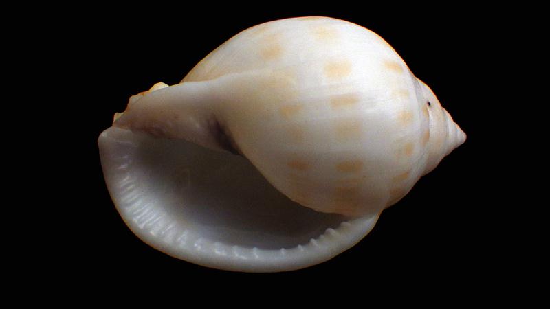 Semicassis bisulcata Rimg6320