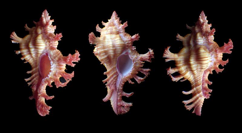 Et puis il y a ce petit bonhomme de murex tout rose : Chicoreus nobilis (Shikama, 1977) Rimg6327