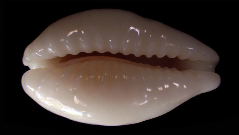 Eclogavena coxeni hypercallosa - Raybaudi, 1992 Rimg6514