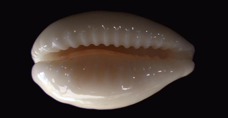 Eclogavena coxeni hypercallosa - Raybaudi, 1992 Rimg6516