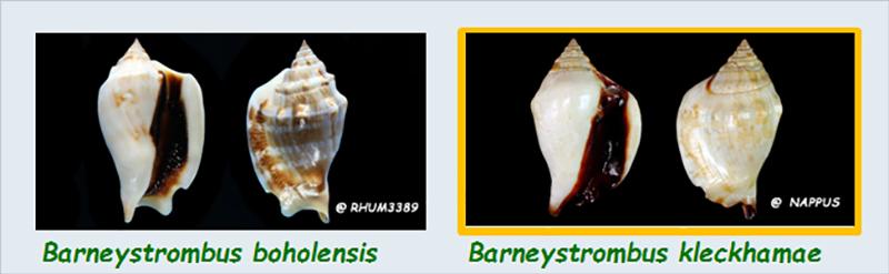 Strombidae Barneystrombus - Le genre, ses espèces, la planche Stromb26
