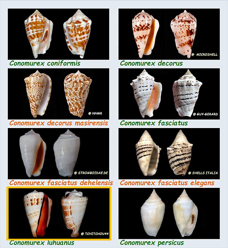 Strombidae Conomurex - Le genre, ses espèces, la planche Stromb28