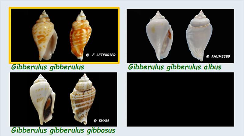 Strombidae Gibberulus - Le genre, ses espèces, la planche Stromb32