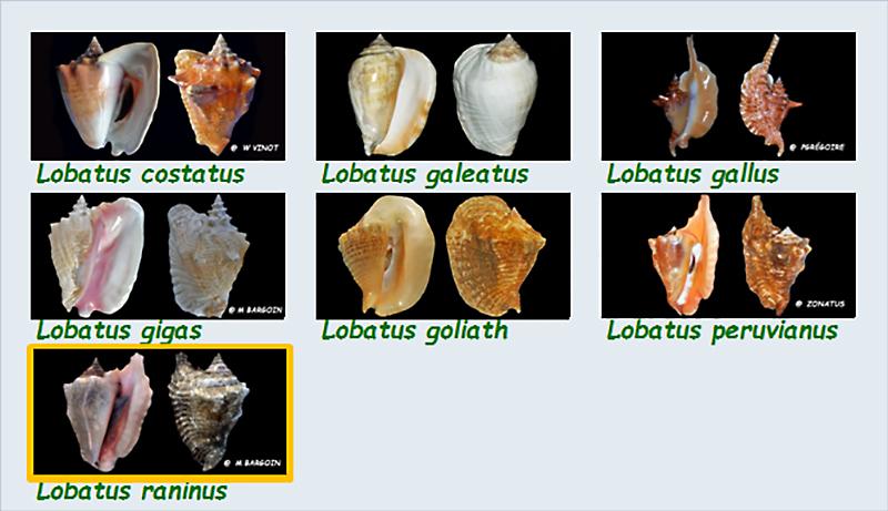 Strombidae Lobatus - Le genre, ses espèces, la planche Stromb38