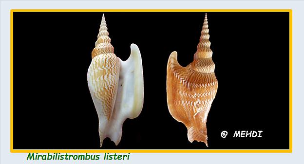 Strombidae Mirabilistrombus - Le genre, l'espèce, la planche Stromb40