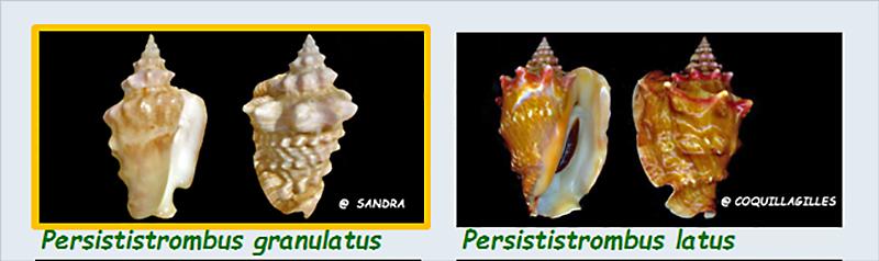 Strombidae Persististrombus - Le genre, ses espèces, la planche Stromb42