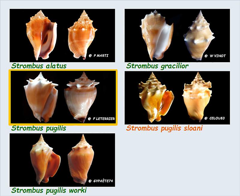 Strombidae Strombus - Le genre, ses espèces, la planche Stromb44