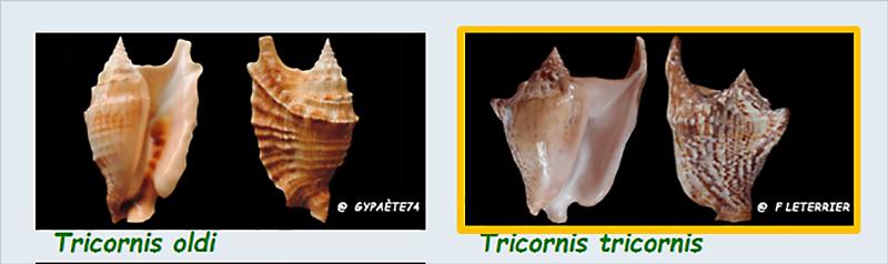 Strombidae Tricornis - Le genre, ses espèces, la planche Stromb47