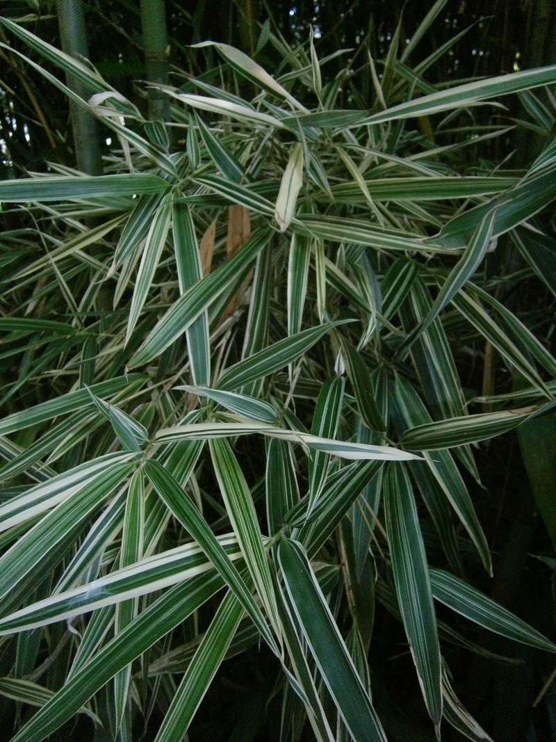 Bambus - Kultur, Aussaat, Pflege, Diskussion und Bilder von Bambusa und Fargesia - Seite 7 Bambus10