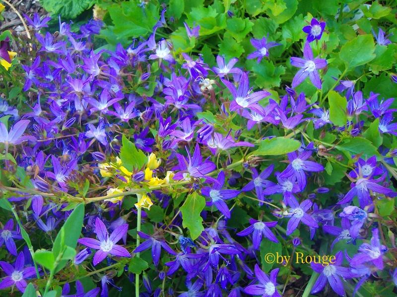 Glockenblumengewächse (Campanulaceae) - Seite 2 Campan11