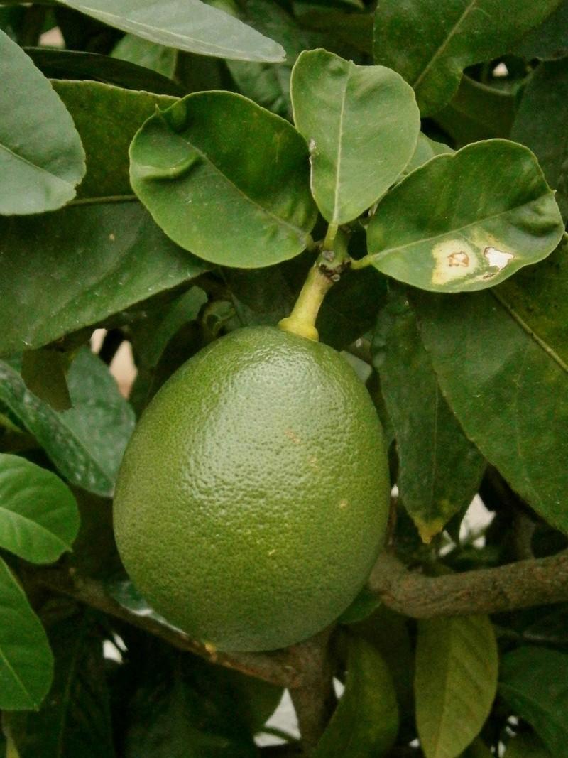 Citrus - alles über Orangen, Zitronen, Limetten, Kumquats: Aussaat, Stecklinge u.v.m. - Seite 6 Citrus10
