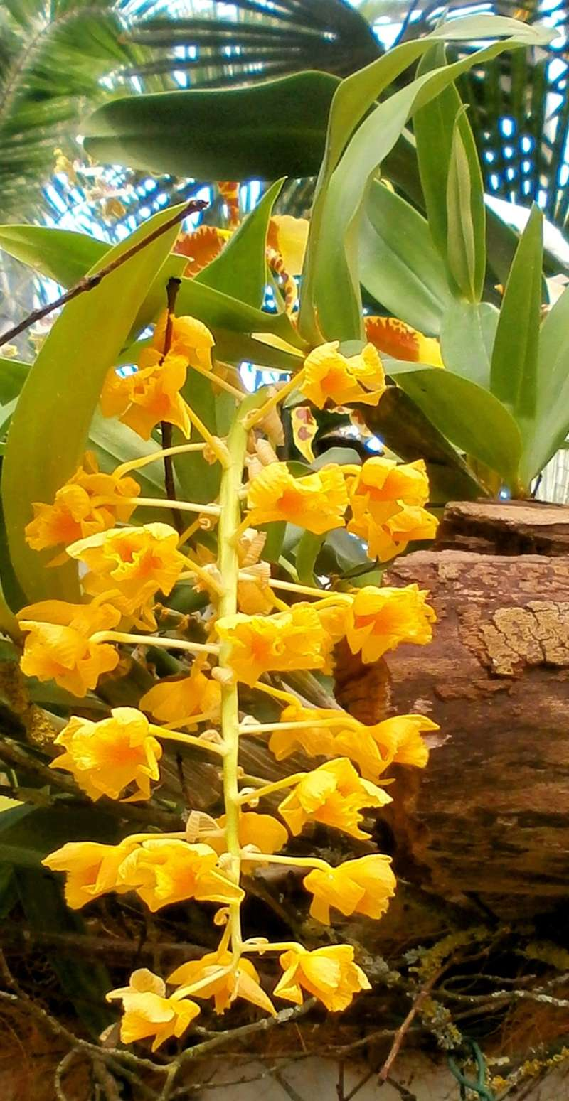Orchideen-Ausstellungen aus aller Welt - Seite 3 Dendro11