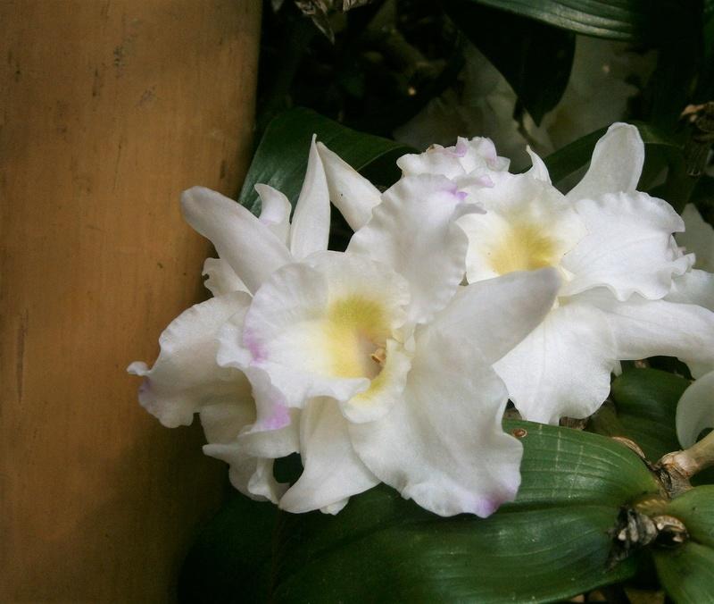 Orchideen-Ausstellungen aus aller Welt - Seite 3 Dendro12