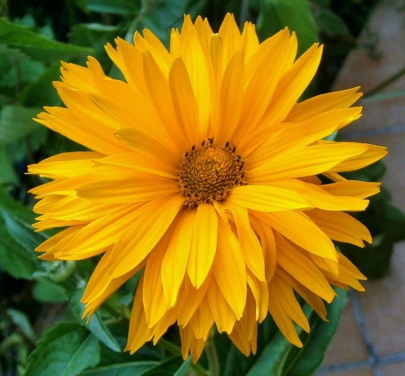 Sonnenblumen(artige) - Heliantheae - Seite 4 Heliop12