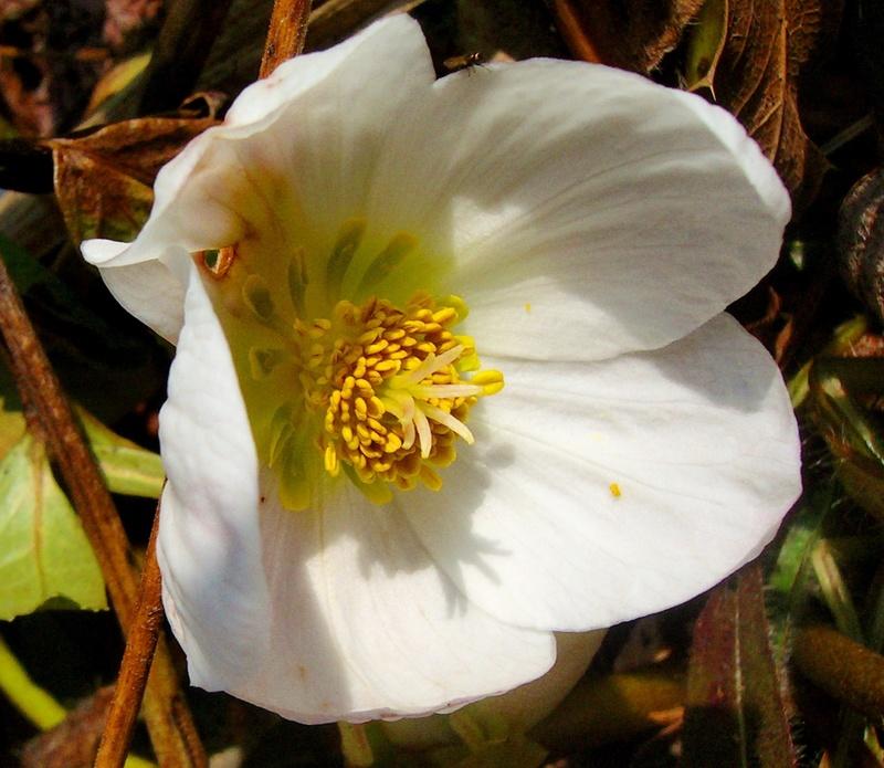 Hahnenfußgewächse (Ranunculaceae) - Winterlinge, Adonisröschen, Trollblumen, Anemonen, Clematis, uvm. - Seite 8 Helleb10