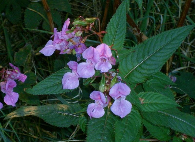 Gattung Impatiens  - Familie Balsaminaceae - Seite 2 Impati10