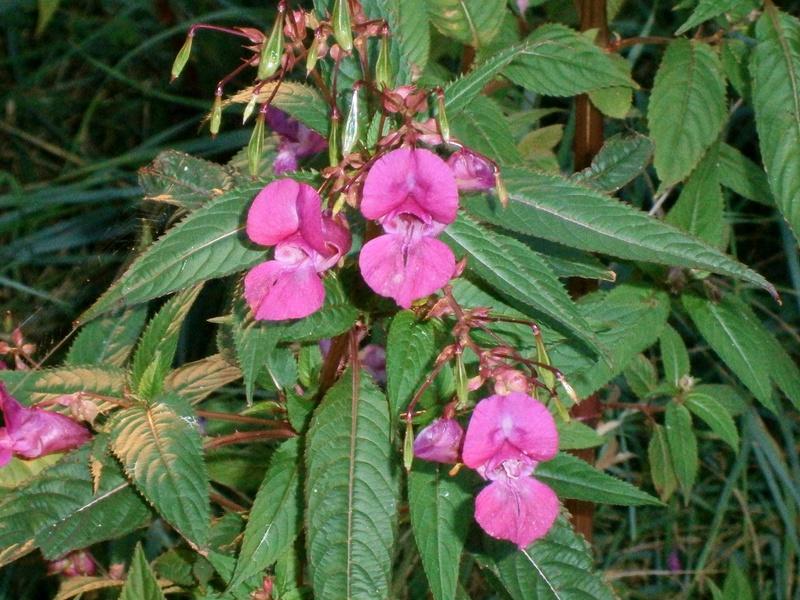 Gattung Impatiens  - Familie Balsaminaceae - Seite 2 Impati12