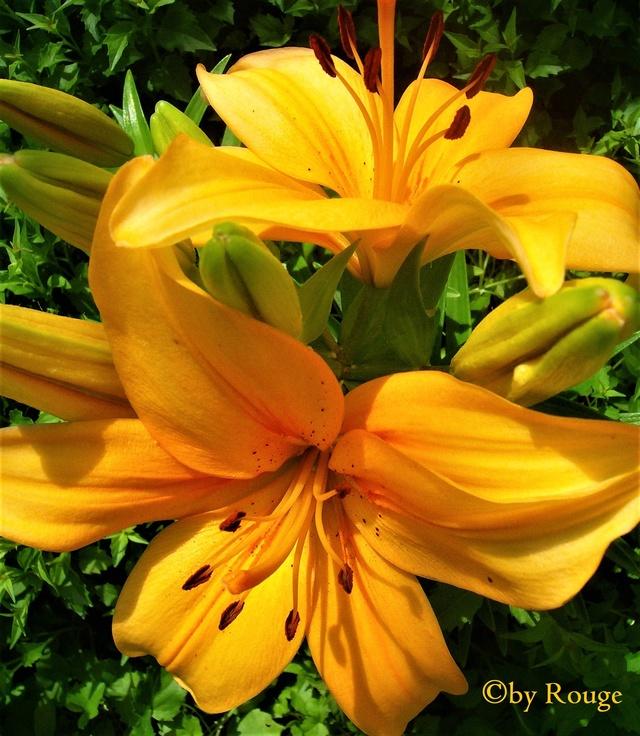 Lilien(artige) -  natürlich Lilien, aber auch Inkalilien, Zeitlose, Germer und Stechwinden - Seite 12 Lilium11