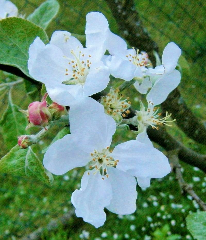 Was für Obstsorten habt Ihr denn im Garten? Aussaat, Spalier, Beerensträucher, Erfahrung und Hilfe :) - Seite 15 Malus_10
