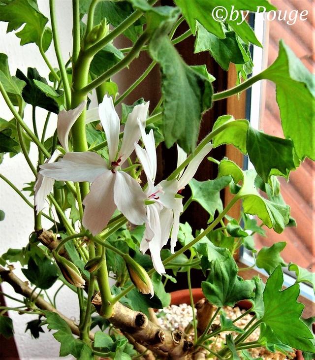 Pelargonium - Pelargonien - alle nichtsukkulenten Arten und Sorten - Aussaat - Stecklinge - Seite 21 Pelarg11