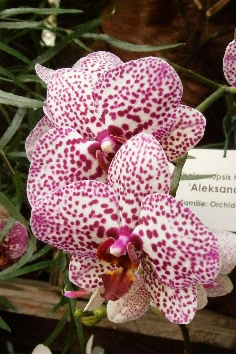 Orchideen-Ausstellungen aus aller Welt - Seite 3 Phalae12